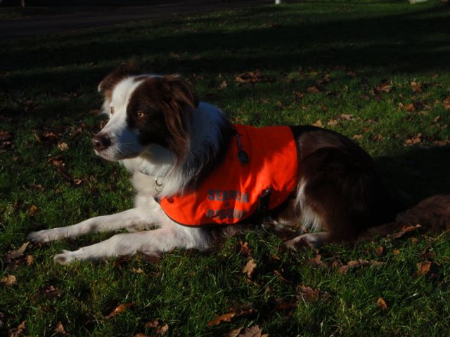 Brock, First Qualified Lowland Search Dog, Retires